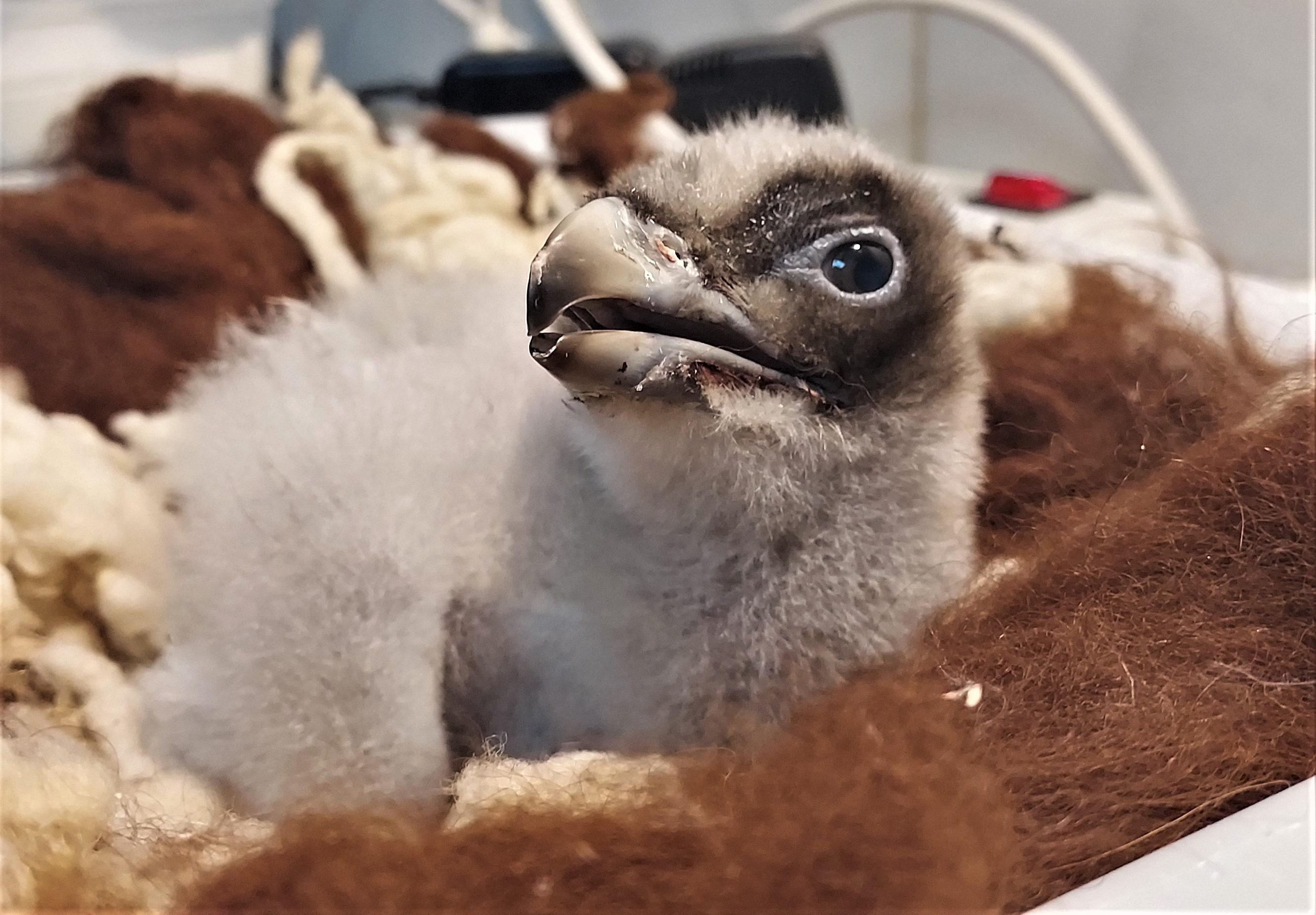 Pressebild: Dieser junge Bartgeier wird aktuell in einer Aufzuchtstation in Spanien aufgezogen, bevor er im Juni zusammen mit einem weiteren Artgenossen im Nationalpark Berchtesgaden ausgewildert wird.