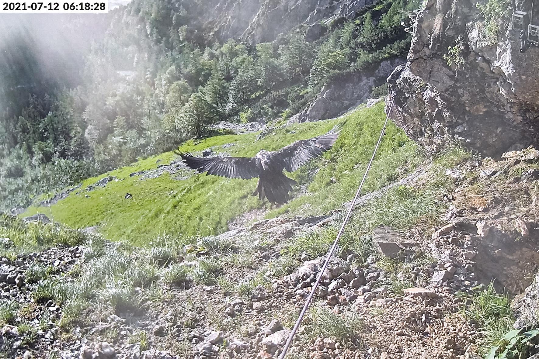 Pressebild: Nun fliegt auch ���Wally���. Nachdem ���Bavaria��� als erste der beiden am 10. Juni im Nationalpark Berchtesgaden ausgewilderten Bartgeier ihre Auswilderungsnische am 8. Juli verlassen hatte, schwang sich heute um 6:18 Uhr auch ���Wally��� zum ersten Mal in die L��fte.