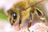 Biene auf Schafgarbe
